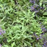 Salvia-officinalis-detalle-de-follaje.